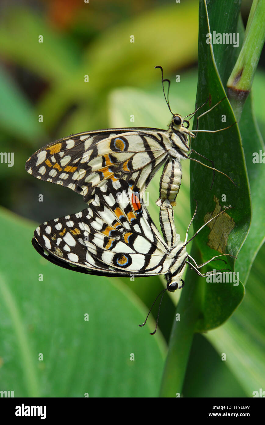 Lime butterfly mating Butterfly park Bannerghatta in Bangalore at Karnataka India Asia - Stock Image