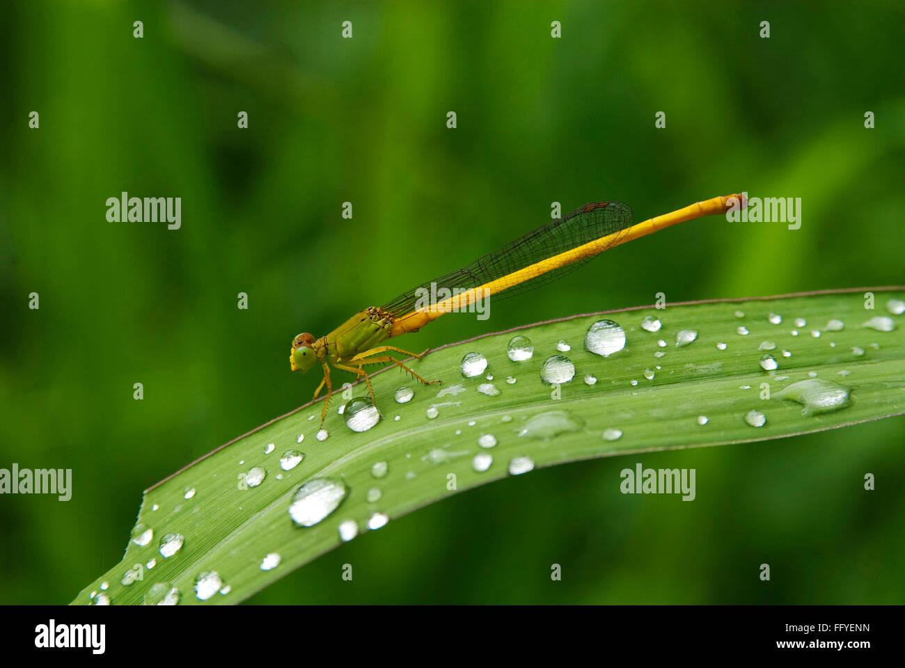 damselfly with rain drops lalbagh in bangalore at Karnataka India Asia - Stock Image