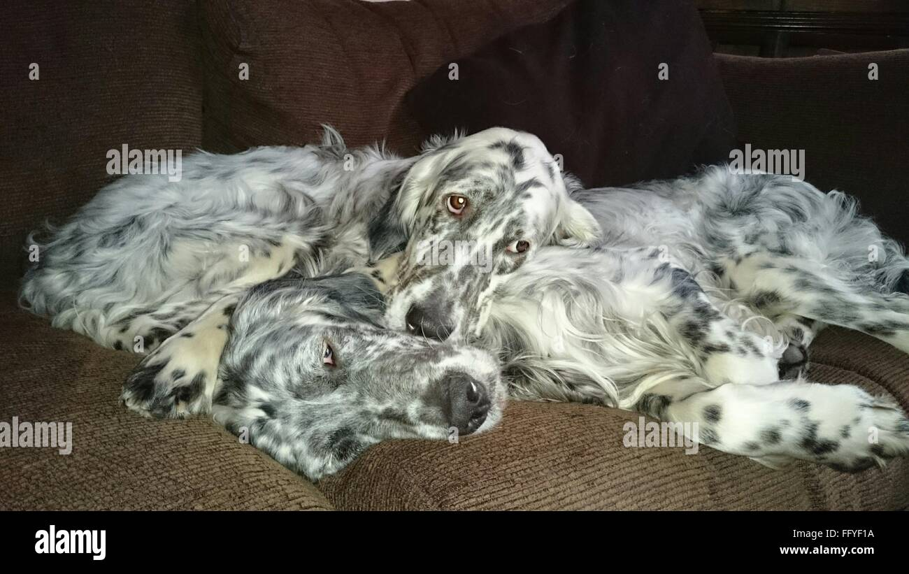 English Setters Resting On Sofa At Home - Stock Image