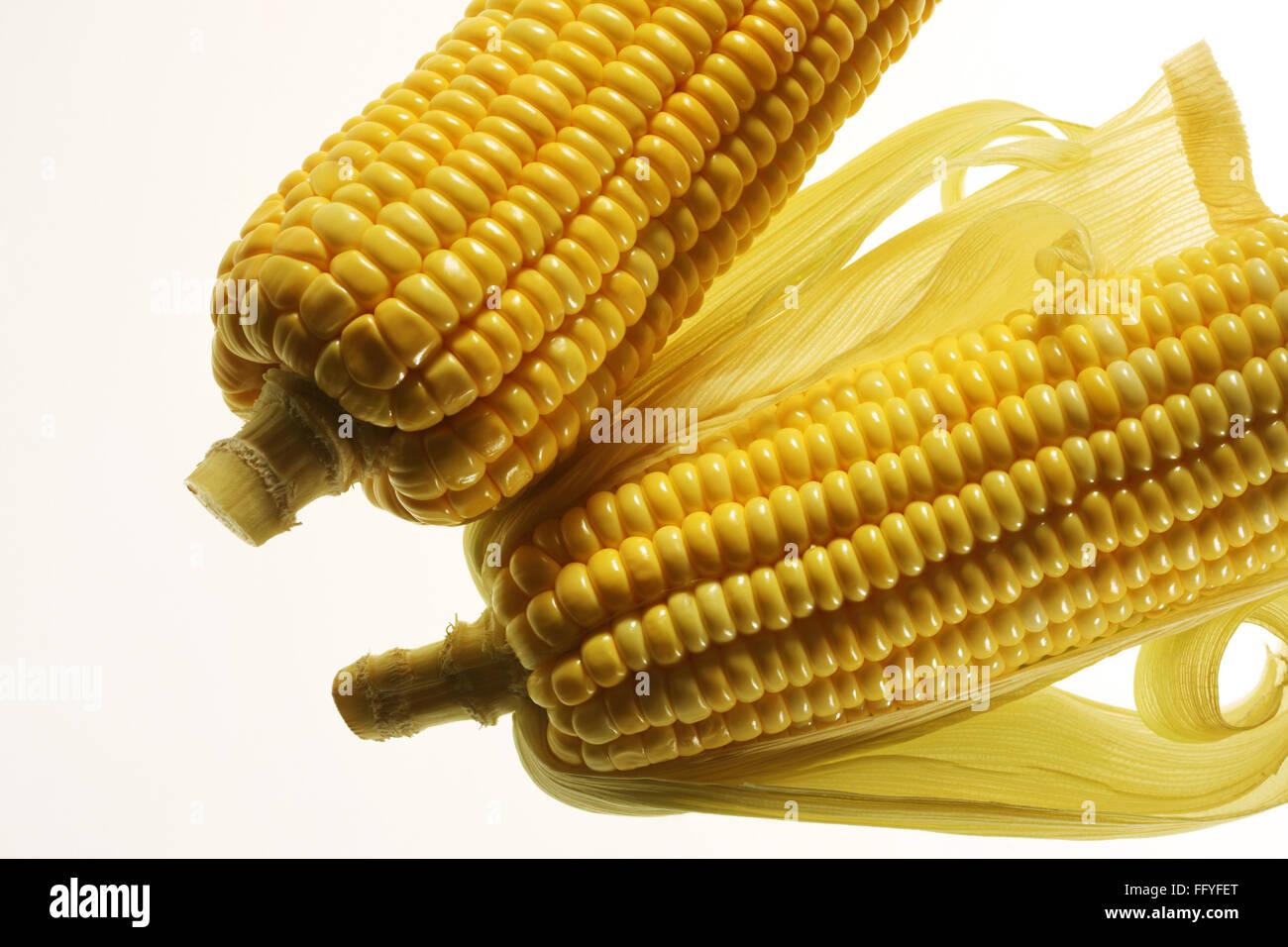 Pair of yellow corn zea mays ; India - Stock Image