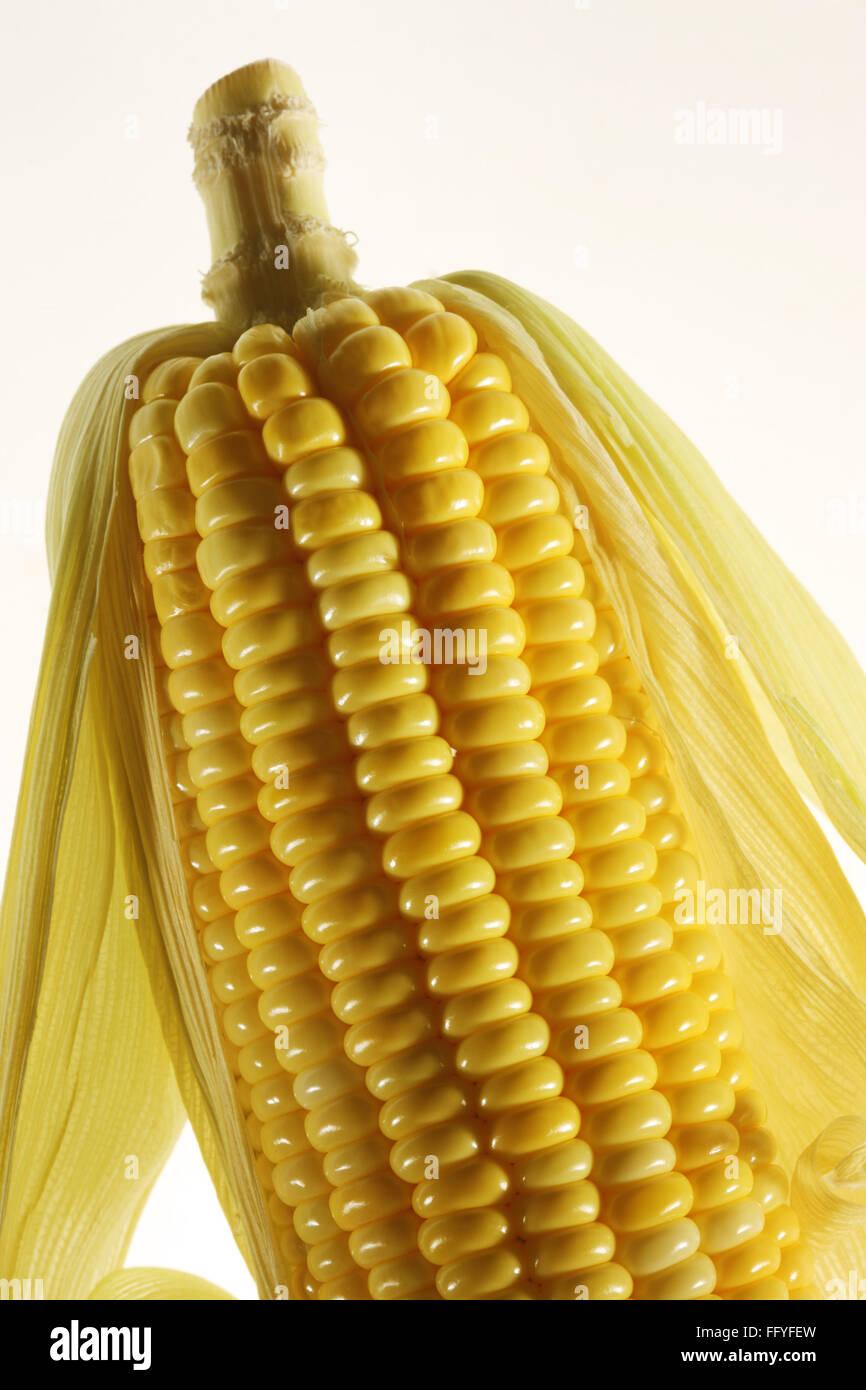 Yellow corn zea mays ; India - Stock Image