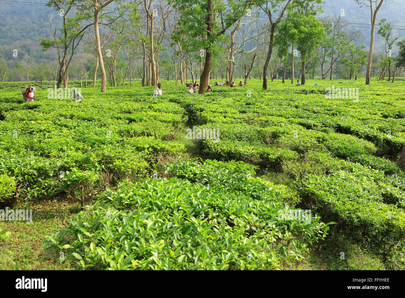 Assam Tea India Stock Photos & Assam Tea India Stock Images - Alamy