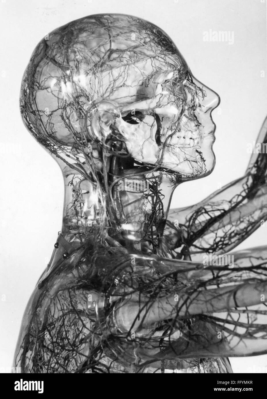 medicine, anatomy, glass human, head, German Hygienie Museum, Dresden, 20th century, 20th century, 30s, Germany, Stock Photo