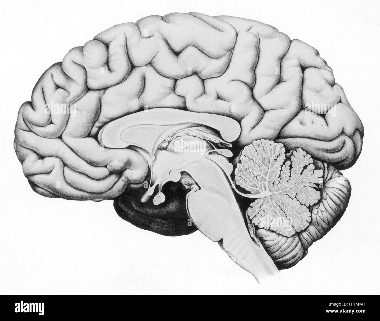 Brain Cross Section Drawing Stock Photos & Brain Cross Section ...