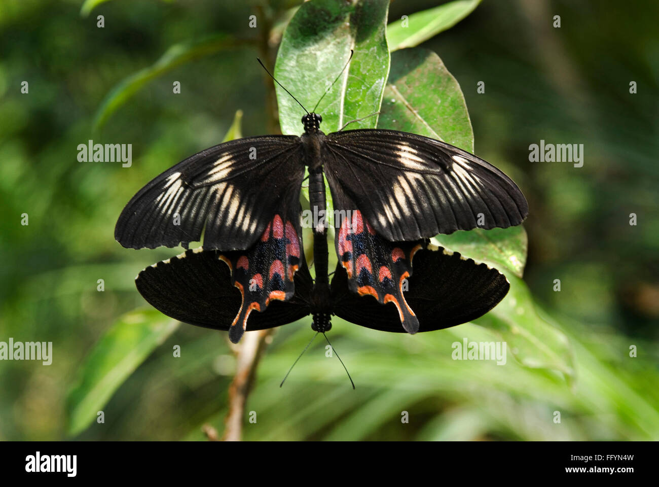Common Mormon mating at Butterfly park Bannerghatta Bangalore Karnataka India Asia - Stock Image