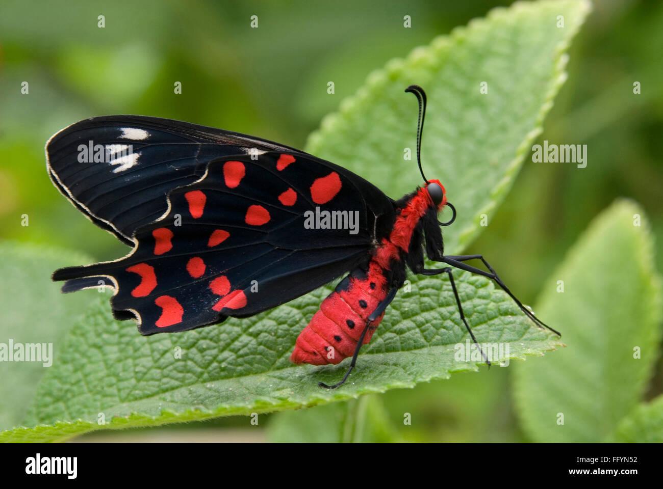 Crimson Rose Butterfly park Bannerghatta in Bangalore at Karnataka India Asia - Stock Image