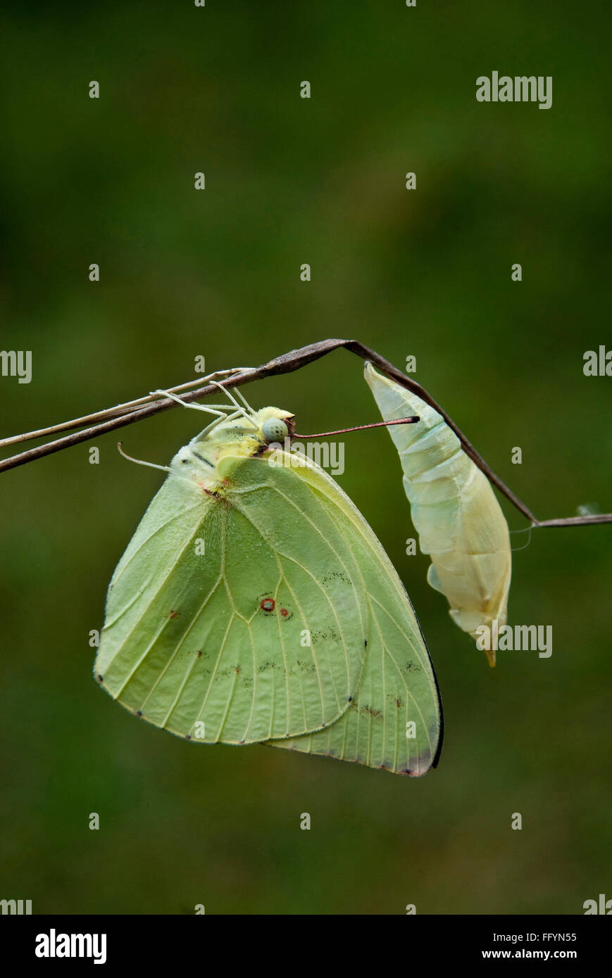 Emigrant emerged from pupa and drying wings Omkar hills Bangalore Karnataka India Asia - Stock Image