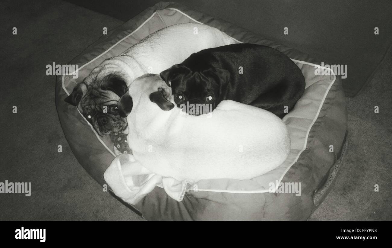 High Angle View Of Pugs Lying Down On Cushion - Stock Image