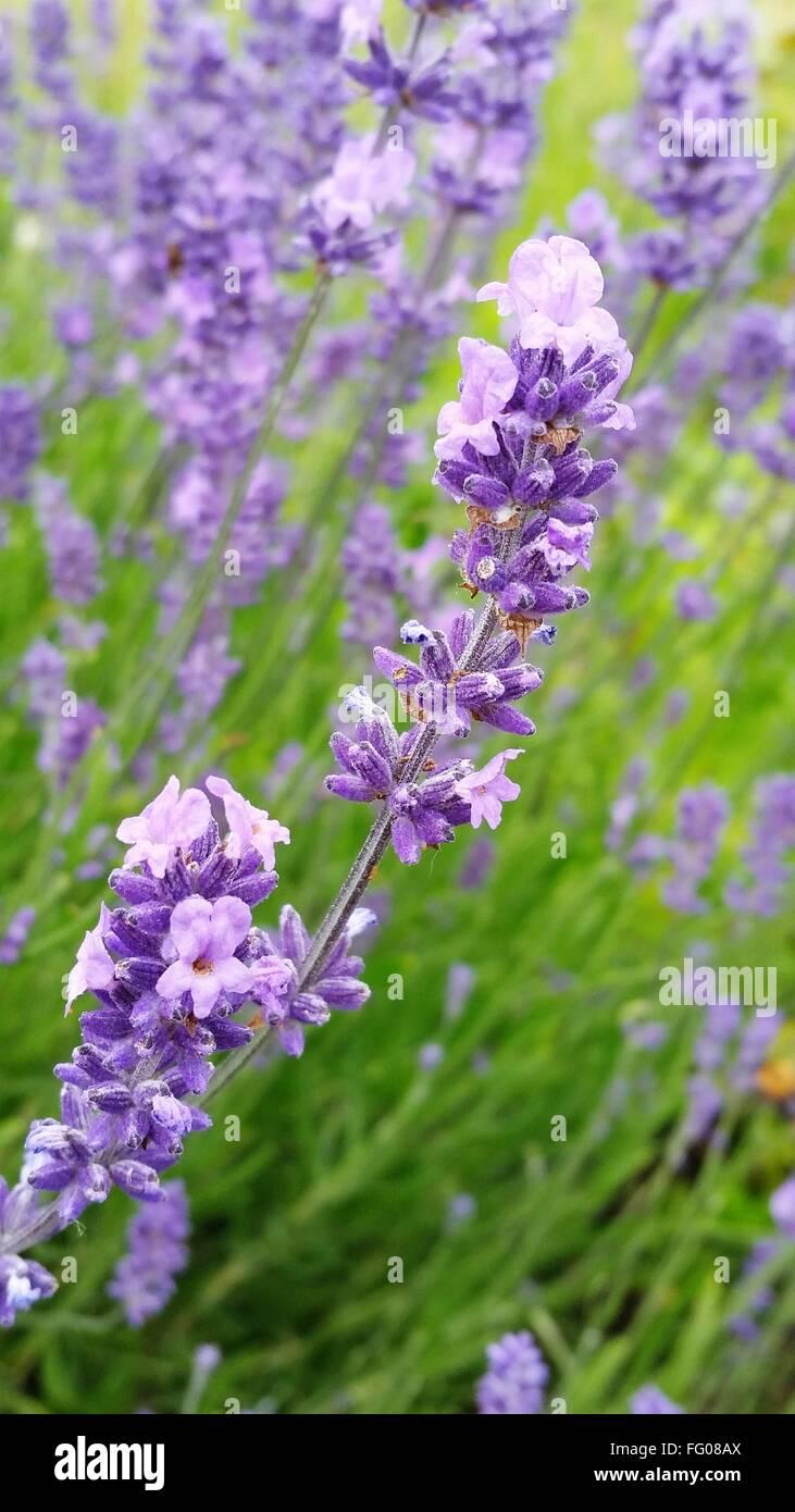 Lavenders Blooming In Garden - Stock Image