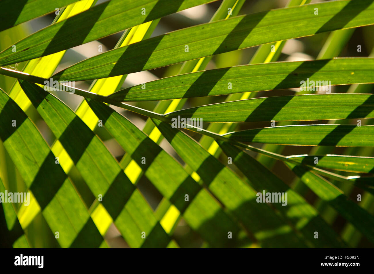 Sunbeam on green chequered palm leaves - Stock Image