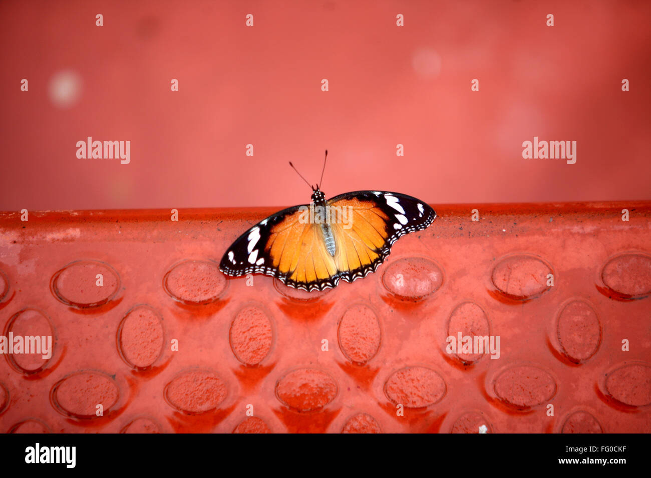 Insects , A butterfly Plain Tiger (Danaus chrysippus) - Stock Image