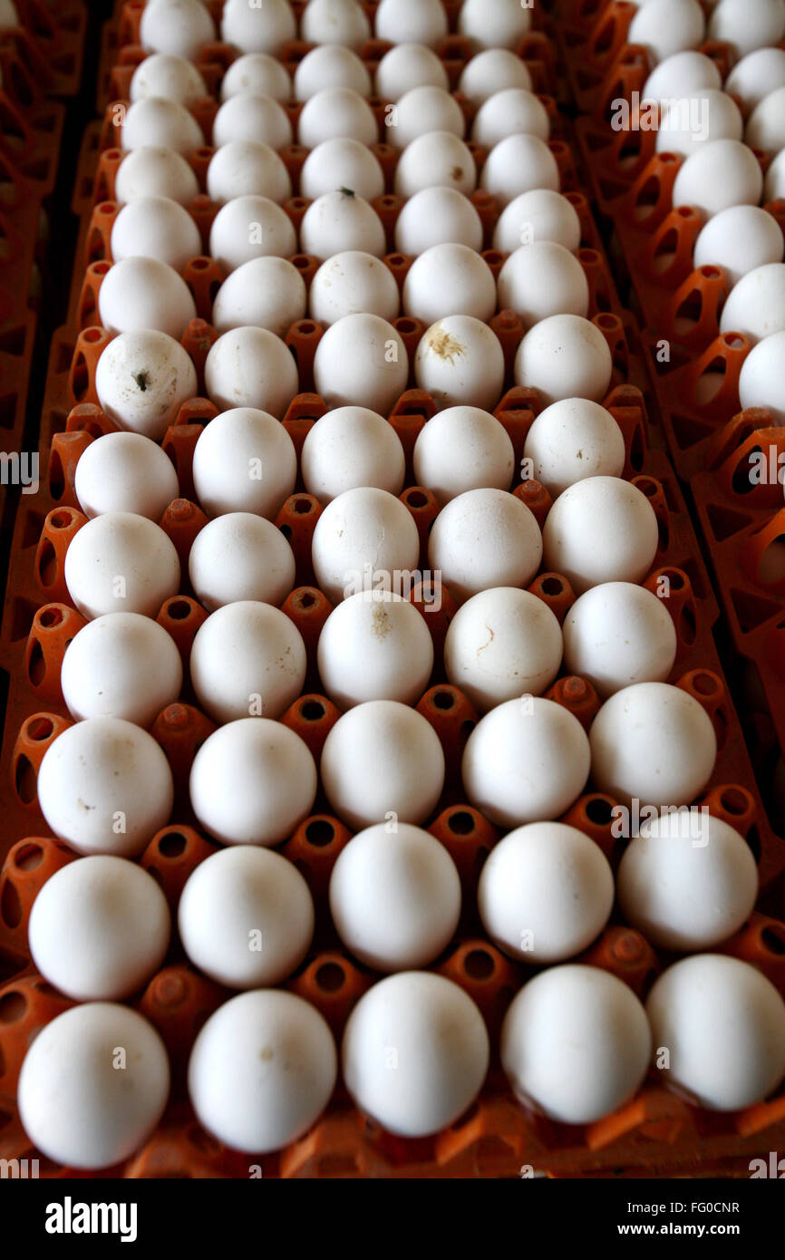 Eggs laid by hens in poultry farm , Sangli , Maharashtra , India - Stock Image