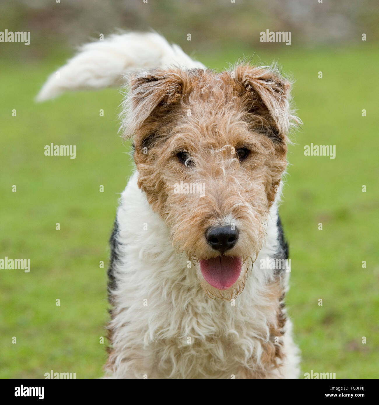 Haired Fox Terrier Wirehaired Wire Center 6inrfelectricalwiringcoaxialcableconnectormmcxmalerightangle Pedigree Stock Photos Rh Alamy Com Cairn Airedale