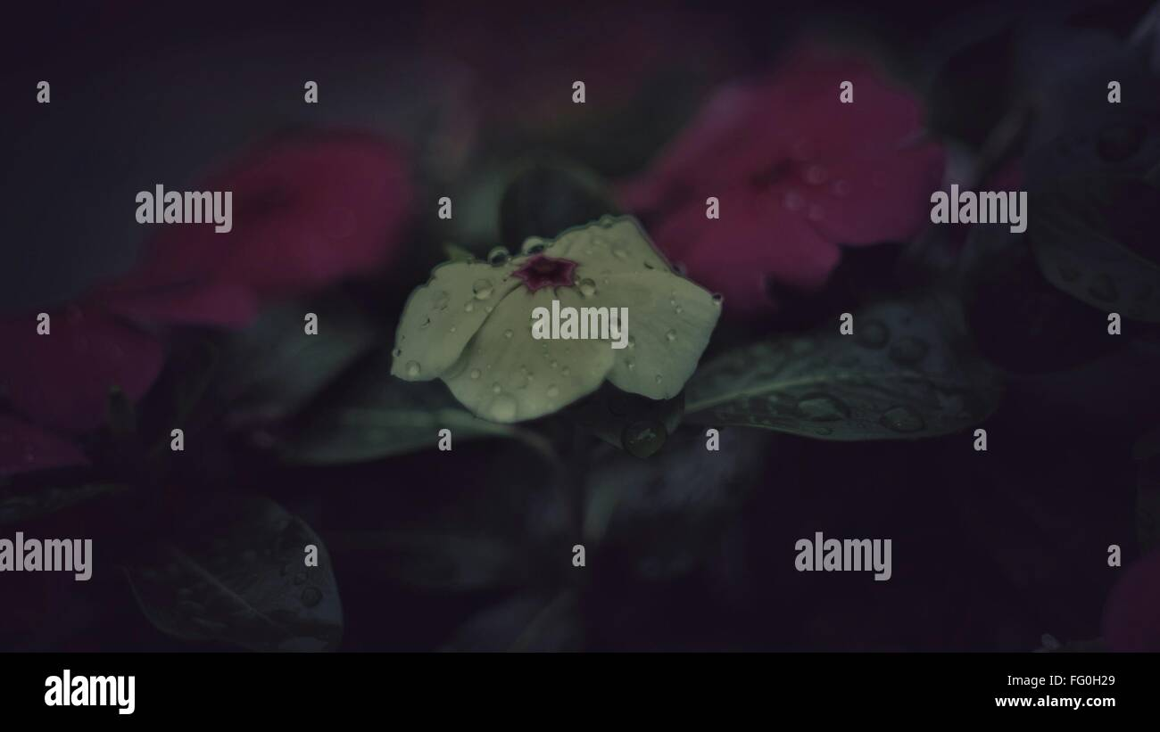 Close-Up Of Flower In Rainy Season - Stock Image
