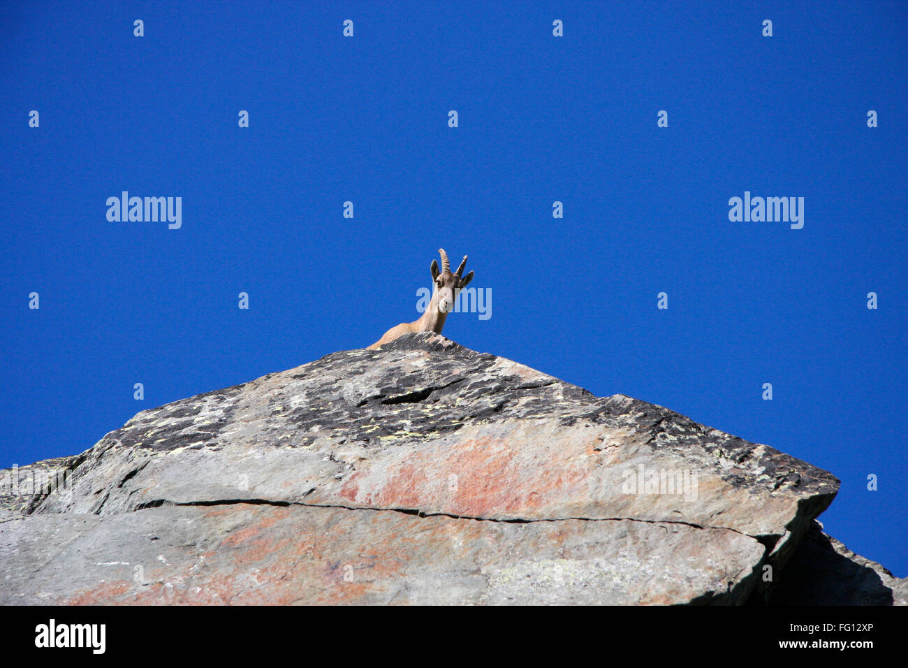 Steinbock, schweizer Alpen. - Stock Image