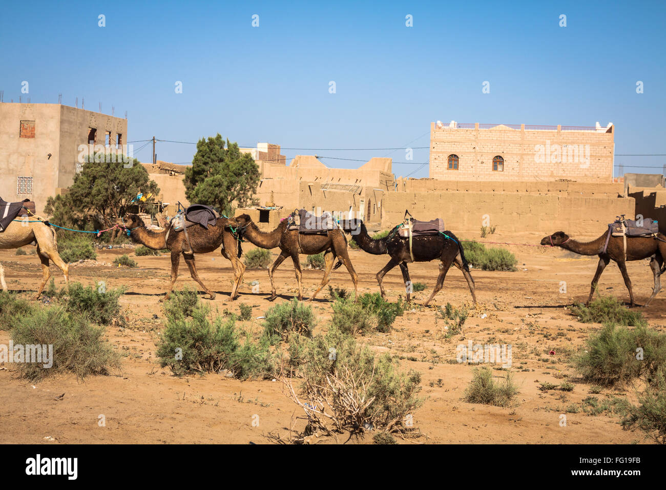 Camel caravan on the Sahara desert ,Merzouga Stock Photo