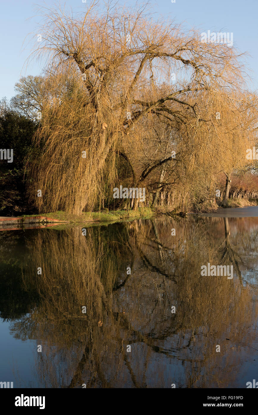 A leafless weeping willow tree, Salix babylonica, tree on the banks of the Kennet and Avon Canal in winter, Hungerford - Stock Image