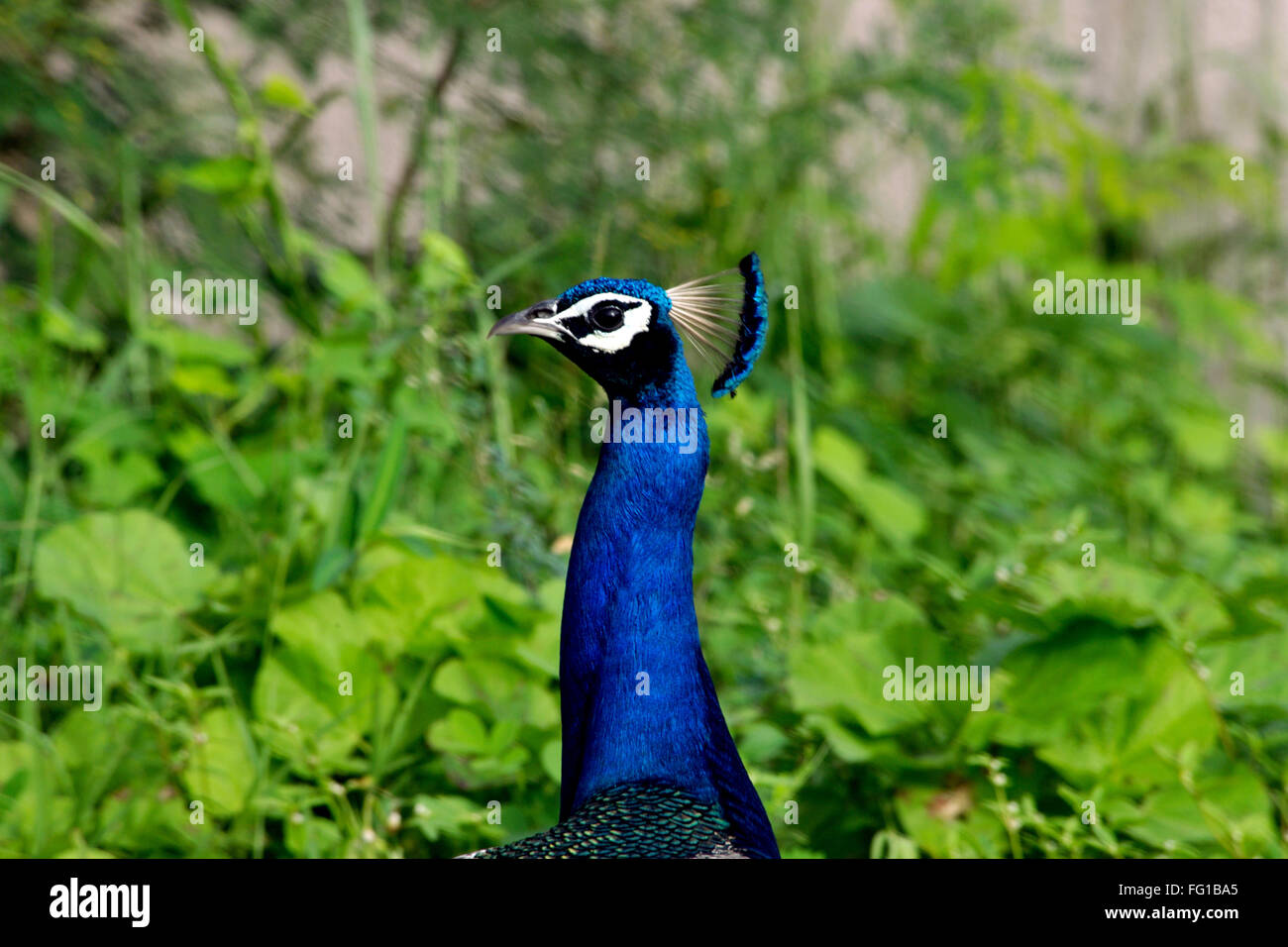 Peafowl Peacock Surat Gujarat India Asia Sept 2010 - Stock Image