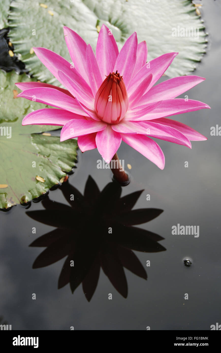 Pink water lily in local pond , Jodhpur , Rajasthan , India Stock Photo