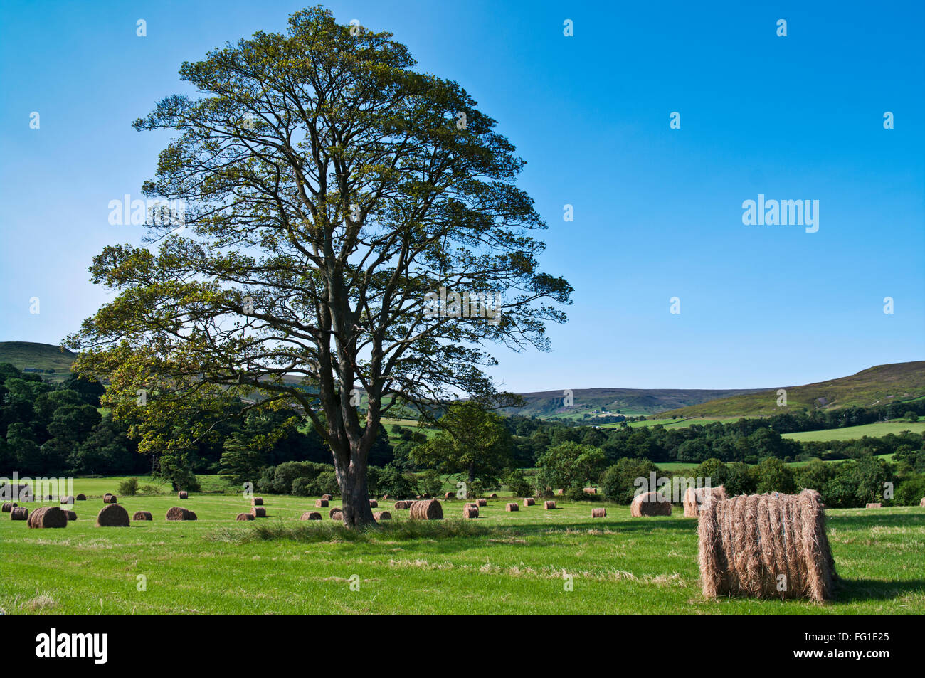 Beautiful specimen tree and round hay bales in a field in Westerdale, North York Moors, early morning summer sunshine, - Stock Image
