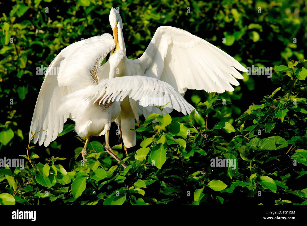 Birds , Large Egret Casmerodius albus feeding chick - Stock Image