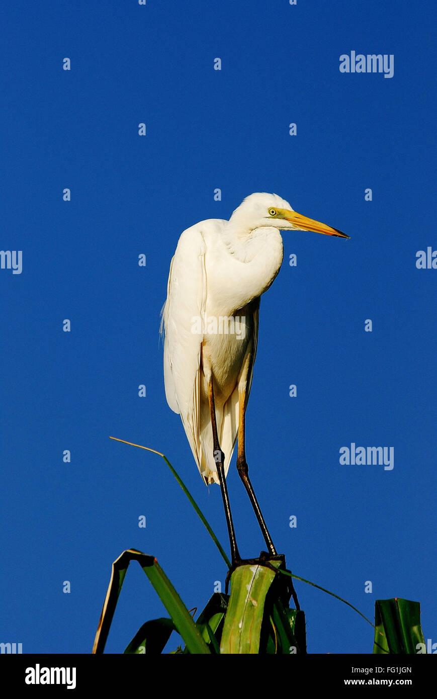 Birds , Large Egret Casmerodius albus on tree - Stock Image