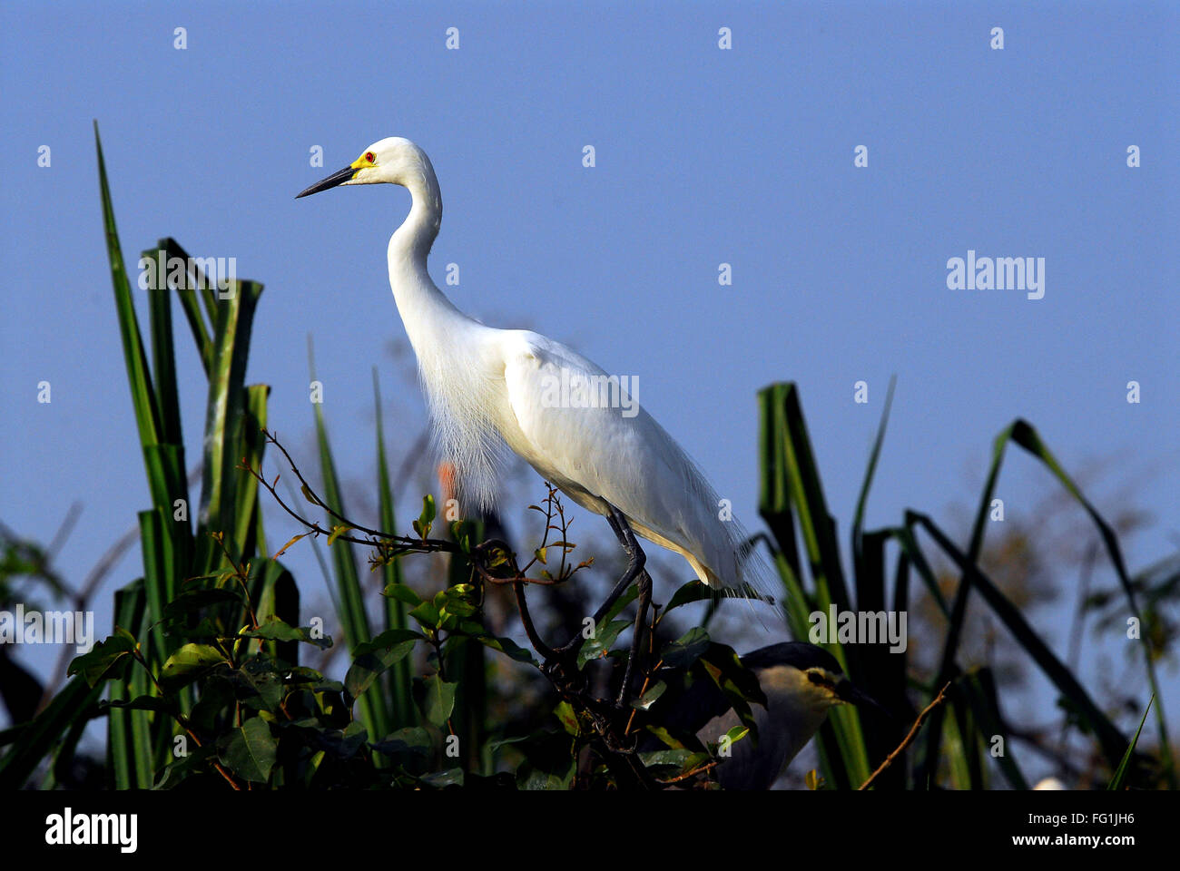 Birds , Median Egret Mesophoyx intermedia - Stock Image