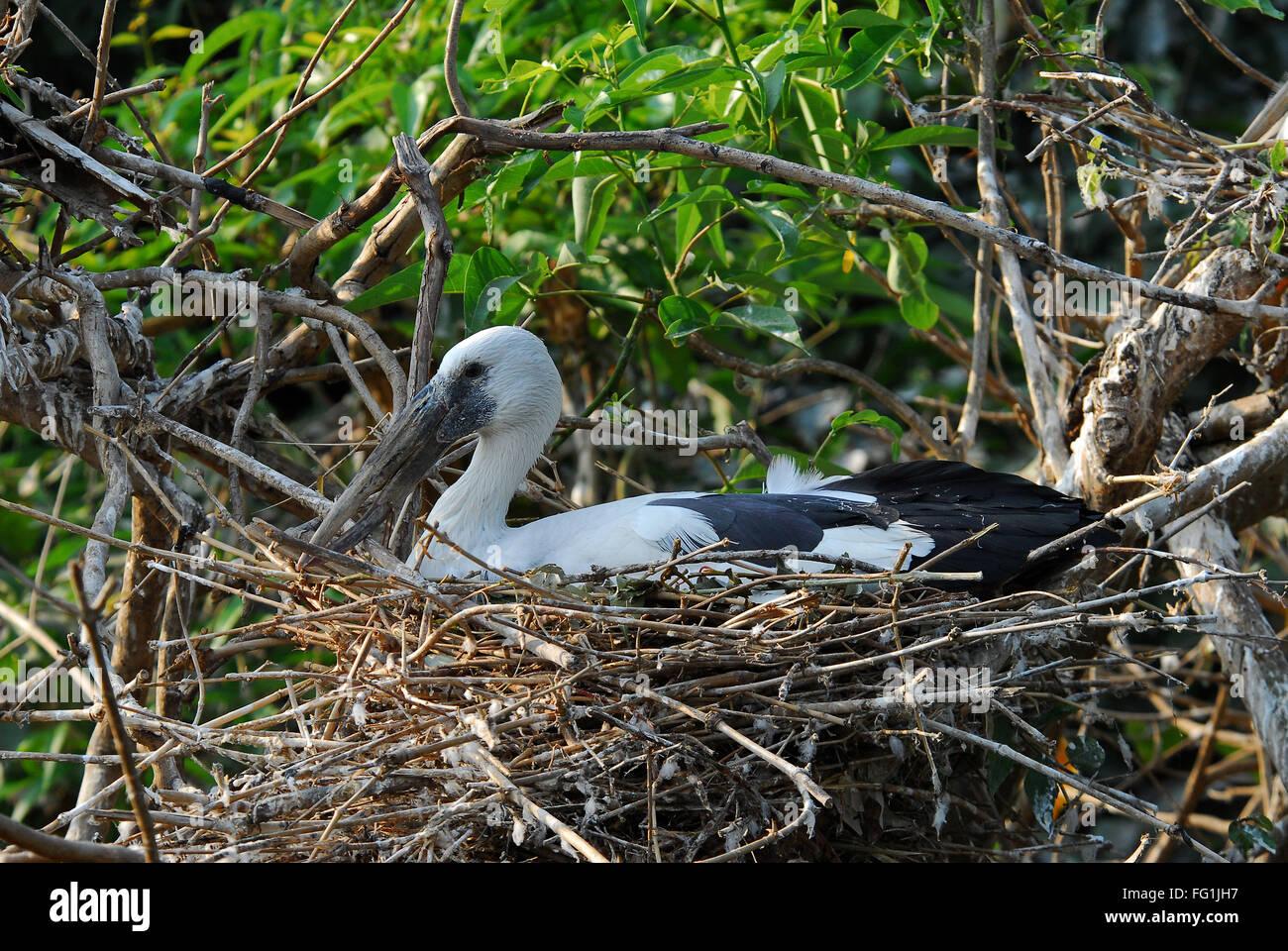 Birds , Asian Openbill Stork Anastomus oscitans nesting - Stock Image