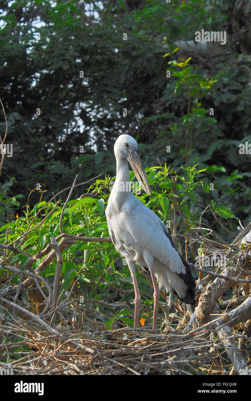Birds , Asian Openbill Stork Anastomus oscitans - Stock Image