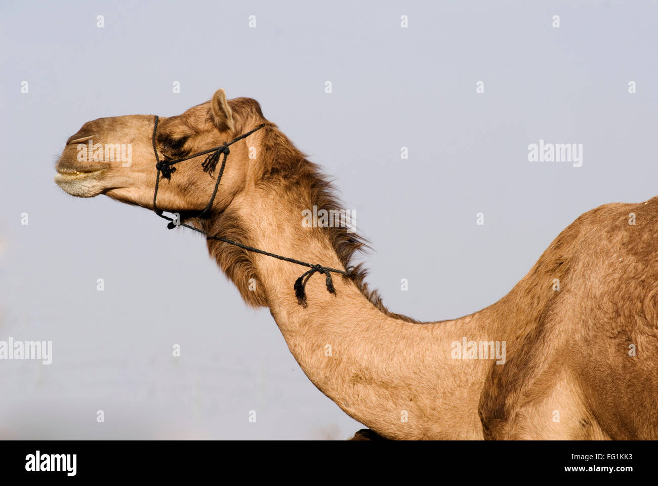 Camel in Camel Research Centre, Bikaner, Rajasthan , India - Stock Image