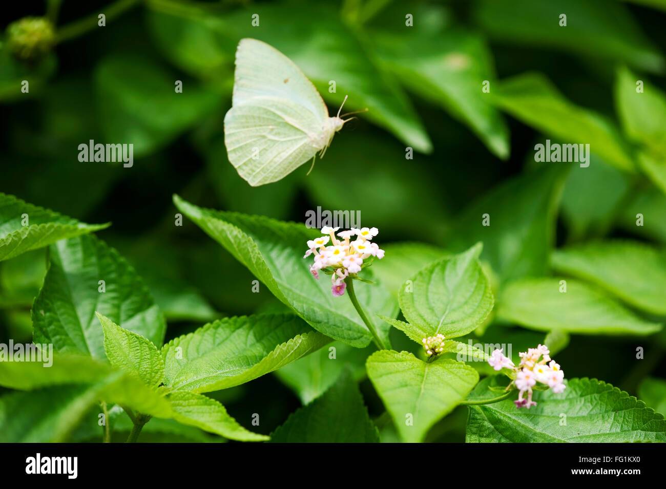 Butterfly mottled emigrant ; India - Stock Image