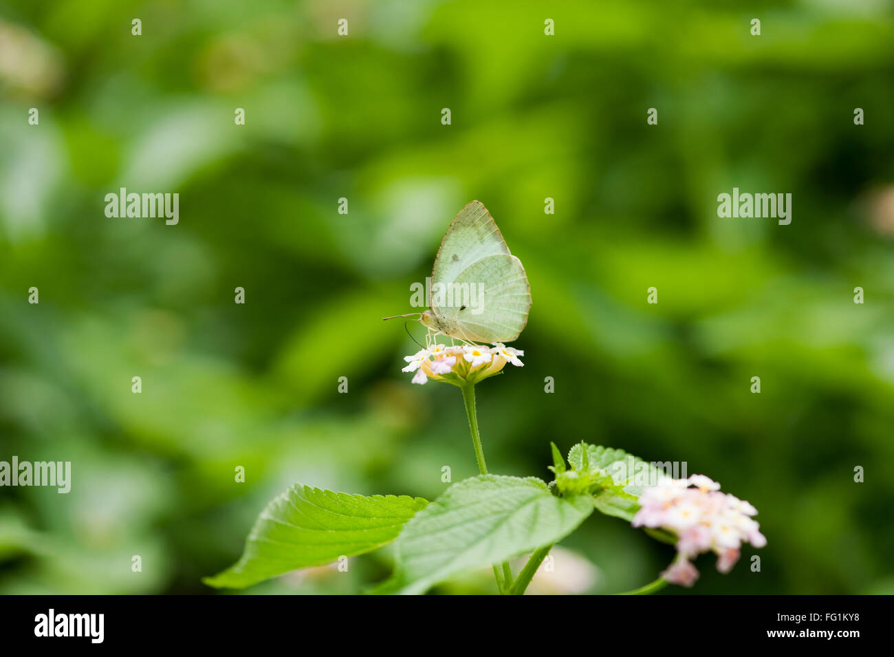 Butterfly ; Mottled Emigrant ; India - Stock Image