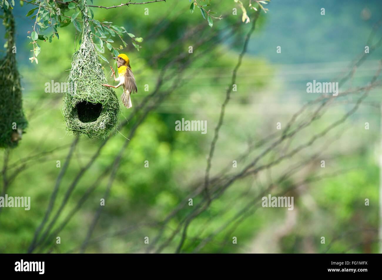 baya weaver nest indian birds wild life india - Stock Image