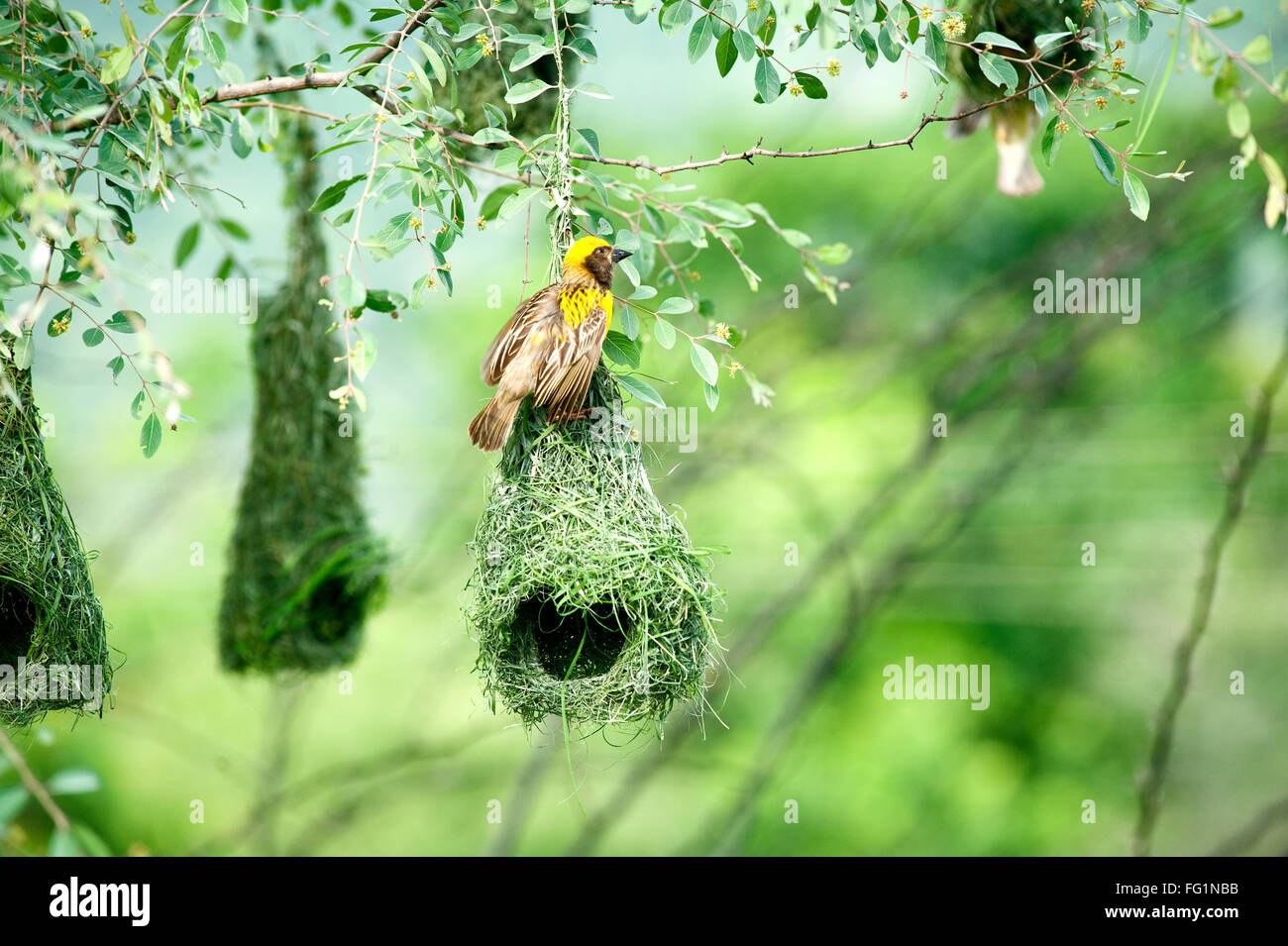 baya weaver nest indian birds wild life india - Stock Image