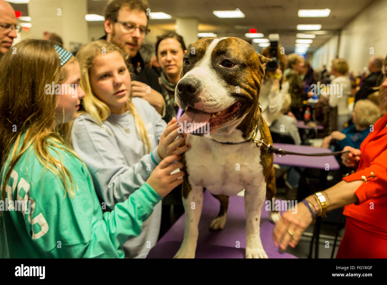 New York, USA. 16th February, 2016. 140th Westminster Kennel Club Dog show in Madison Square Garden Stock Photo
