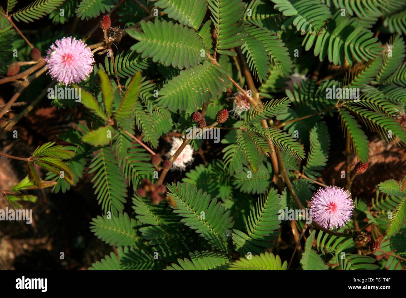 Ayurvedic Medicinal Plant Scientific Name Stock Photos Ayurvedic