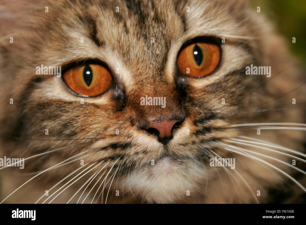Persian cat with fierce brown eyes and black and beige fur - Stock Image