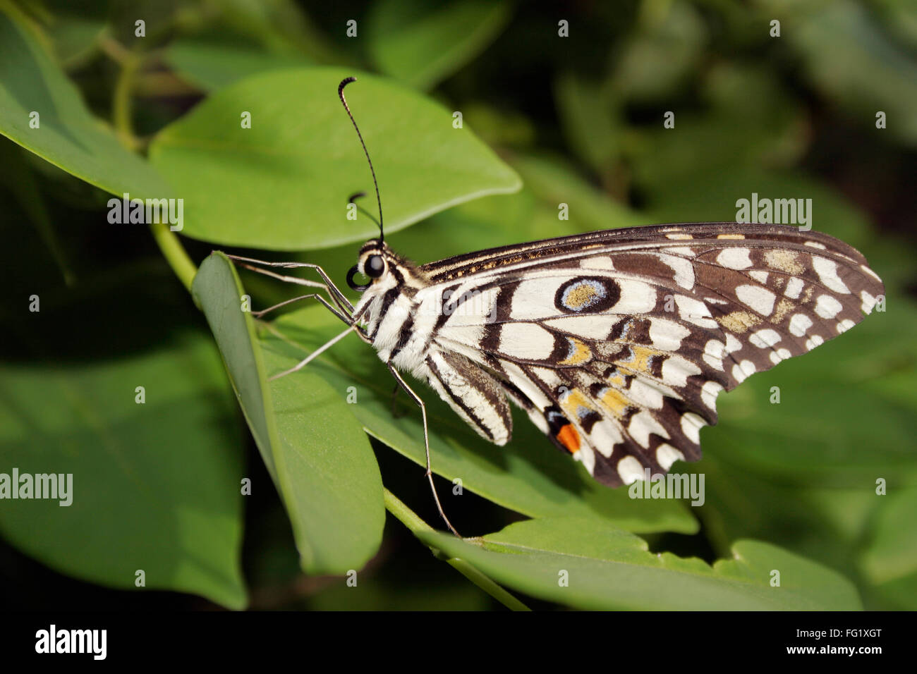 Insect , butterfly Lime Butterfly ii princeps demoleus libanius ii fruhstorferij - Stock Image