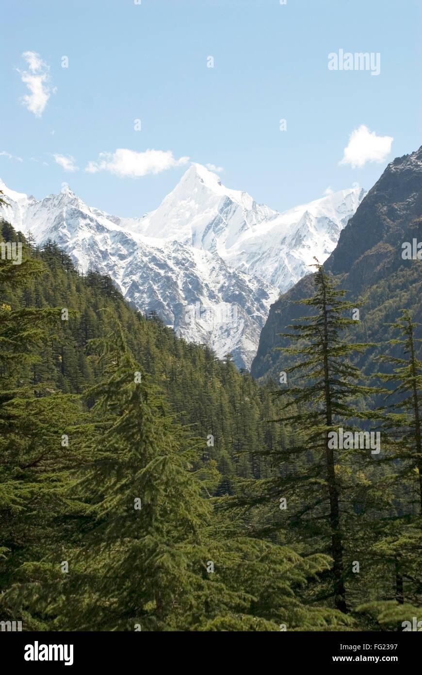 Gangotri national park at Gangotri and Himalayan snow on mountain peak of Sudarshan , Gangotri , Uttaranchal , India - Stock Image