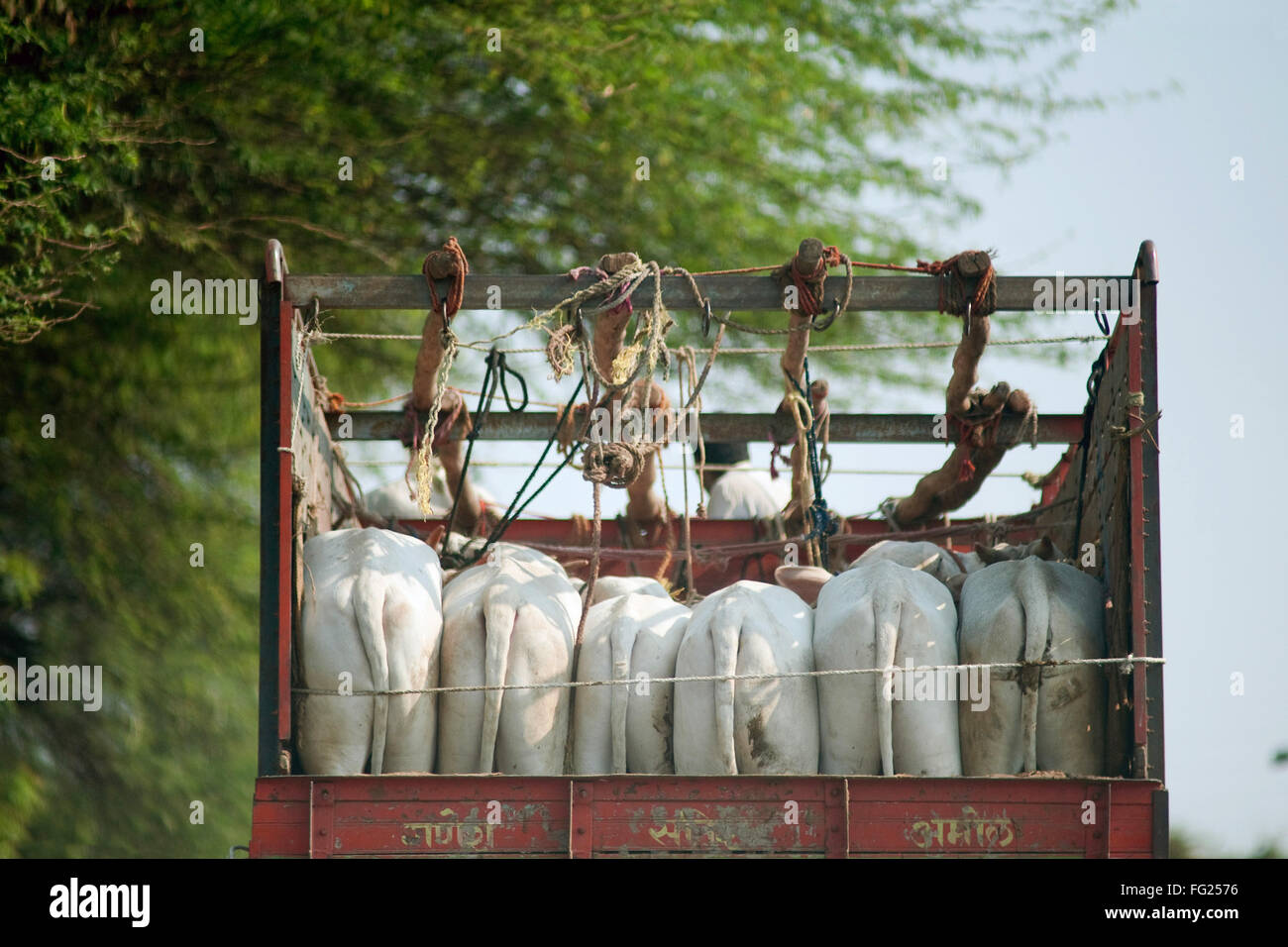 Cruelty transferring animal in truck ; Maharashtra ; India - Stock Image