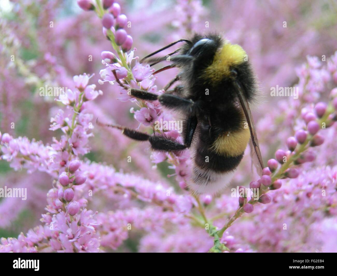 Close-Up Of Bee Pollinating Flower - Stock Image