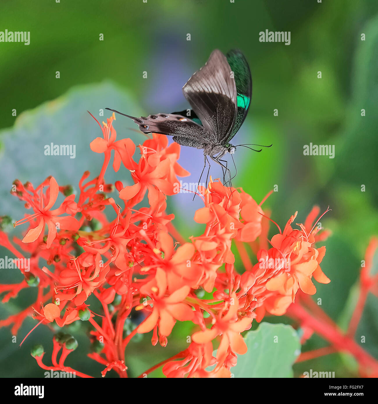Exotic Blue Butterfly Nature Background Stock Photos & Exotic Blue ...