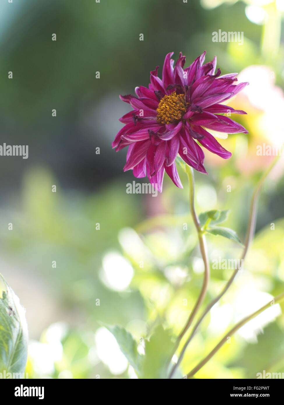 Close-Up Of Fresh Magenta Flower Blooming In Nature - Stock Image