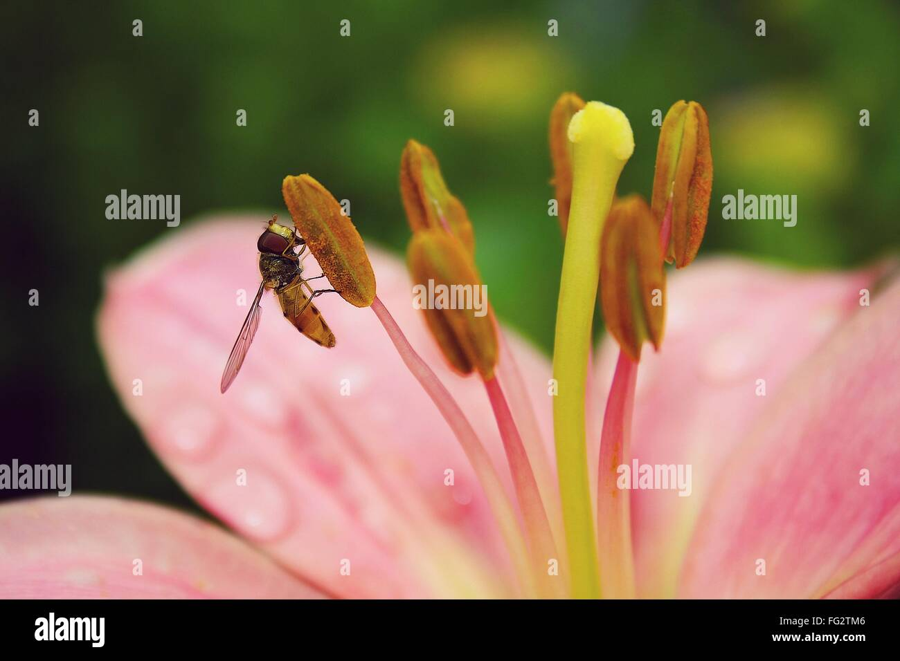 Extreme Close-Up Of Bee Pollinating On Pink Flower - Stock Image