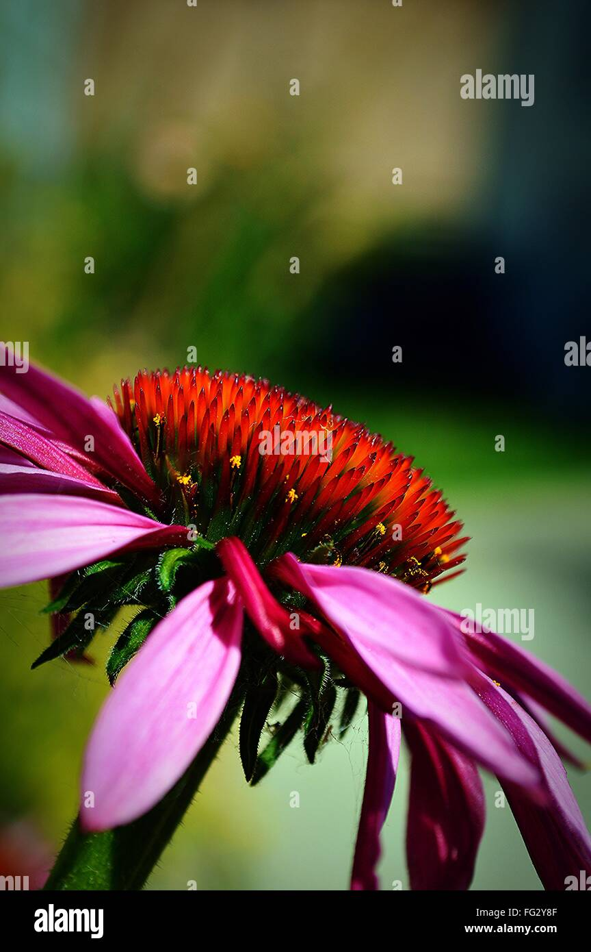 Close-Up Of Eastern Purple Coneflower Blooming Outdoors - Stock Image