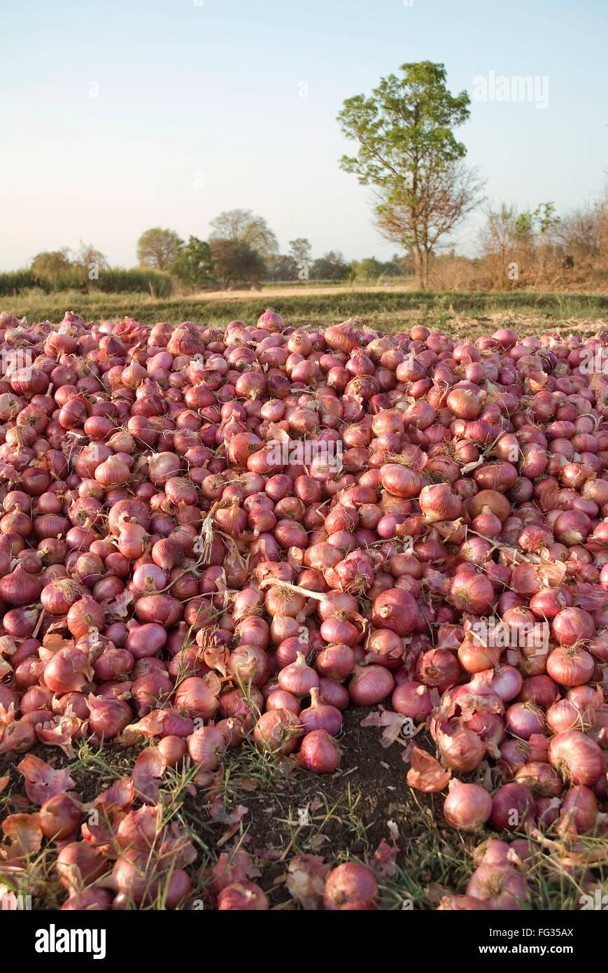 Pile of red skinned onions allium cepa - Stock Image