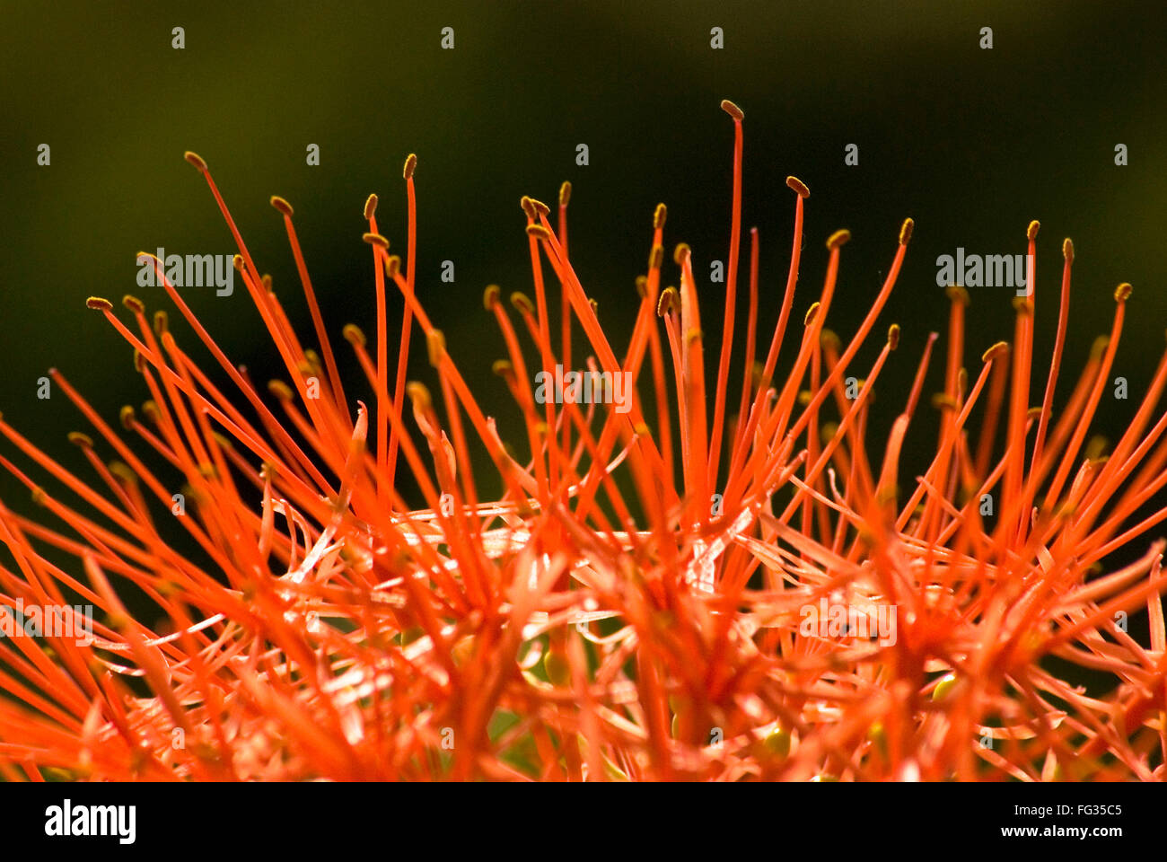 Fireball lily called football lily flower Haemanthus multiflorus - Stock Image