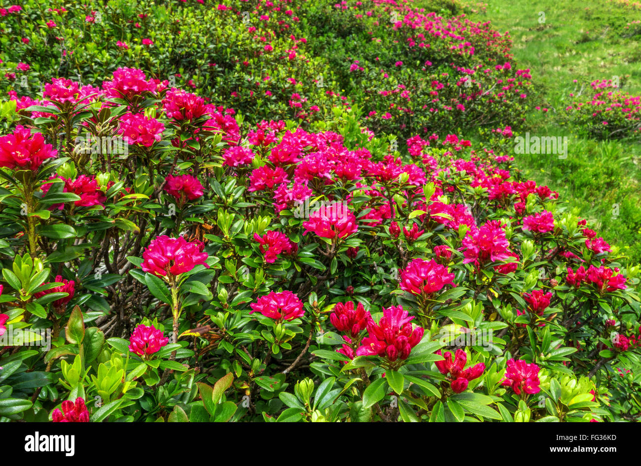 Many bushes of red blooming alpine roses in a green slope Stock Photo