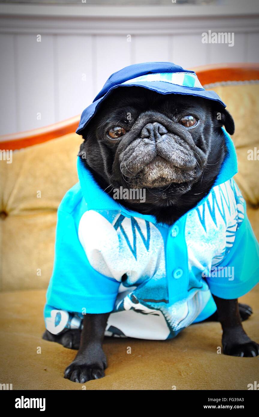 Portrait Of Pug In Cloths On Bed At Home - Stock Image
