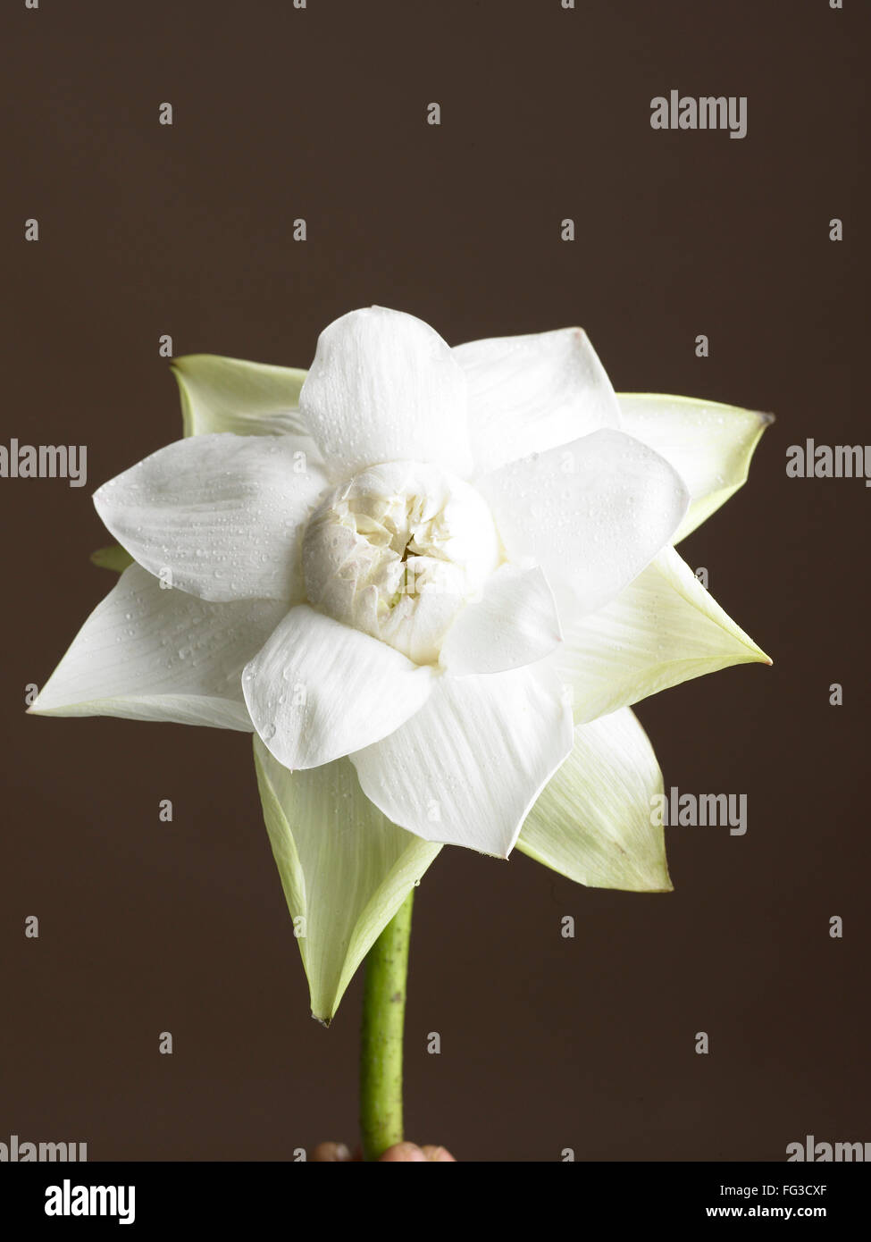 White Lotus Flower With Black Background Stock Photo 95962343 Alamy